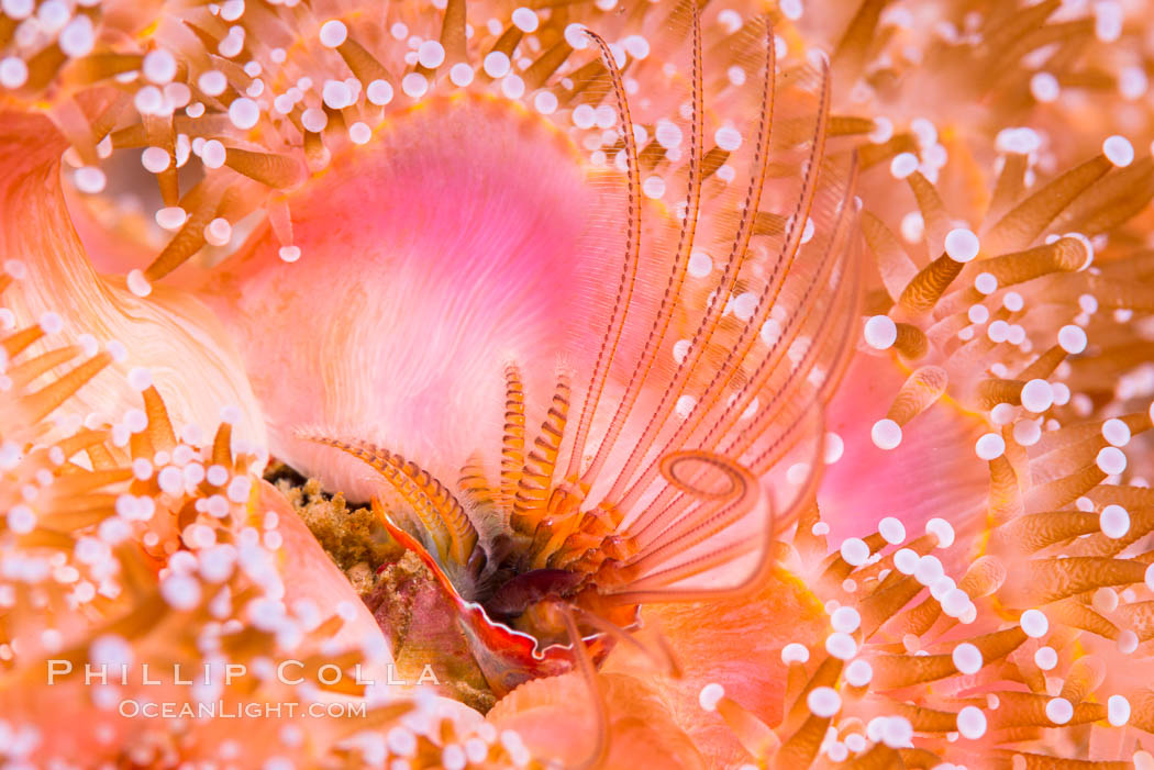 Acorn Barnacle extends to feed in ocean current, amid colony of Corynactis anemones. San Diego, California, USA, Corynactis californica, Megabalanus californicus, natural history stock photograph, photo id 33455