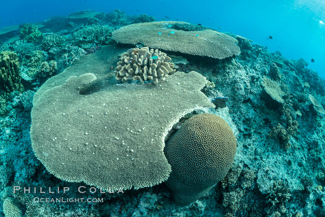 Acropora table coral on pristine tropical reef. Table coral competes for space on the coral reef by growing above and spreading over other coral species keeping them from receiving sunlight. Wakaya Island, Lomaiviti Archipelago, Fiji, natural history stock photograph, photo id 31554