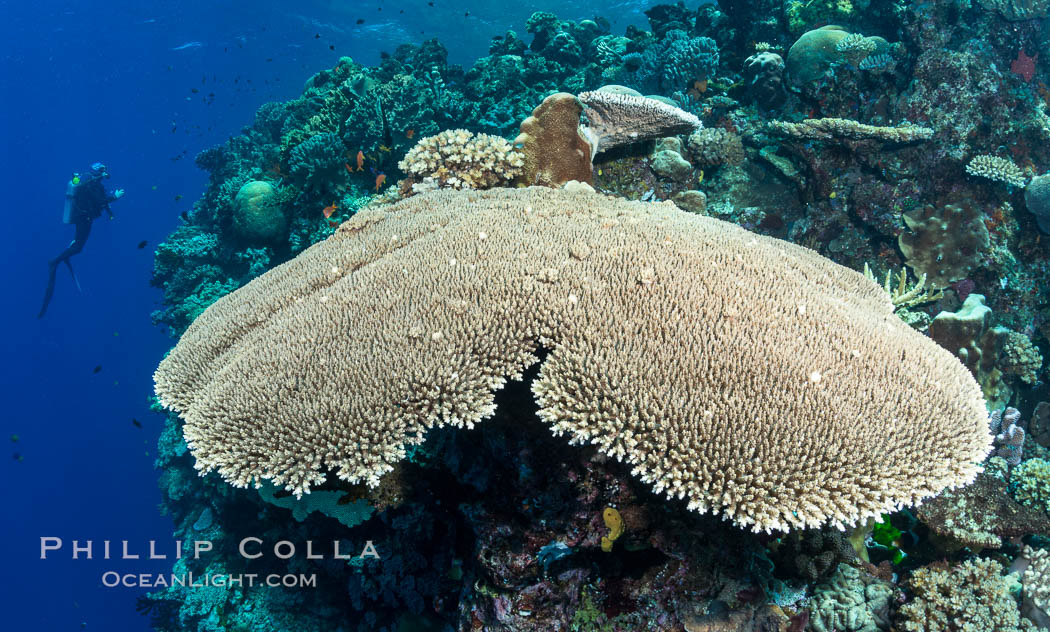 Acropora table coral on pristine tropical reef. Table coral competes for space on the coral reef by growing above and spreading over other coral species keeping them from receiving sunlight. Vatu I Ra Passage, Bligh Waters, Viti Levu  Island, Fiji, natural history stock photograph, photo id 31331