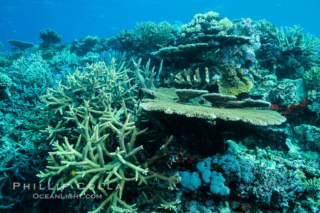 Acropora table coral on pristine tropical reef. Table coral competes for space on the coral reef by growing above and spreading over other coral species keeping them from receiving sunlight. Wakaya Island, Lomaiviti Archipelago, Fiji, natural history stock photograph, photo id 31745