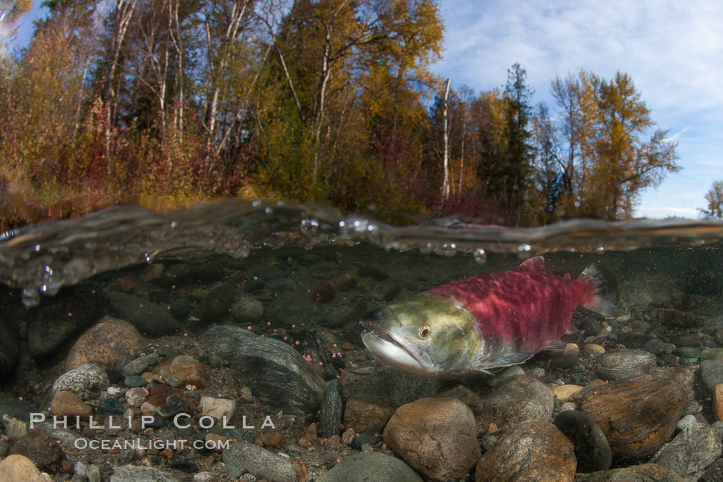 A sockeye salmon swims in the shallows of the Adams River, with the surrounding forest visible in this split-level over-under photograph. Roderick Haig-Brown Provincial Park, British Columbia, Canada, Oncorhynchus nerka, natural history stock photograph, photo id 26150