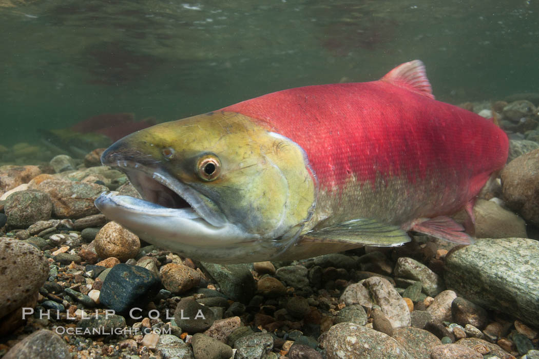 Adams River sockeye salmon.  A female sockeye salmon swims upstream in the Adams River to spawn, having traveled hundreds of miles upstream from the ocean. Adams River, Roderick Haig-Brown Provincial Park, British Columbia, Canada, Oncorhynchus nerka, natural history stock photograph, photo id 26178