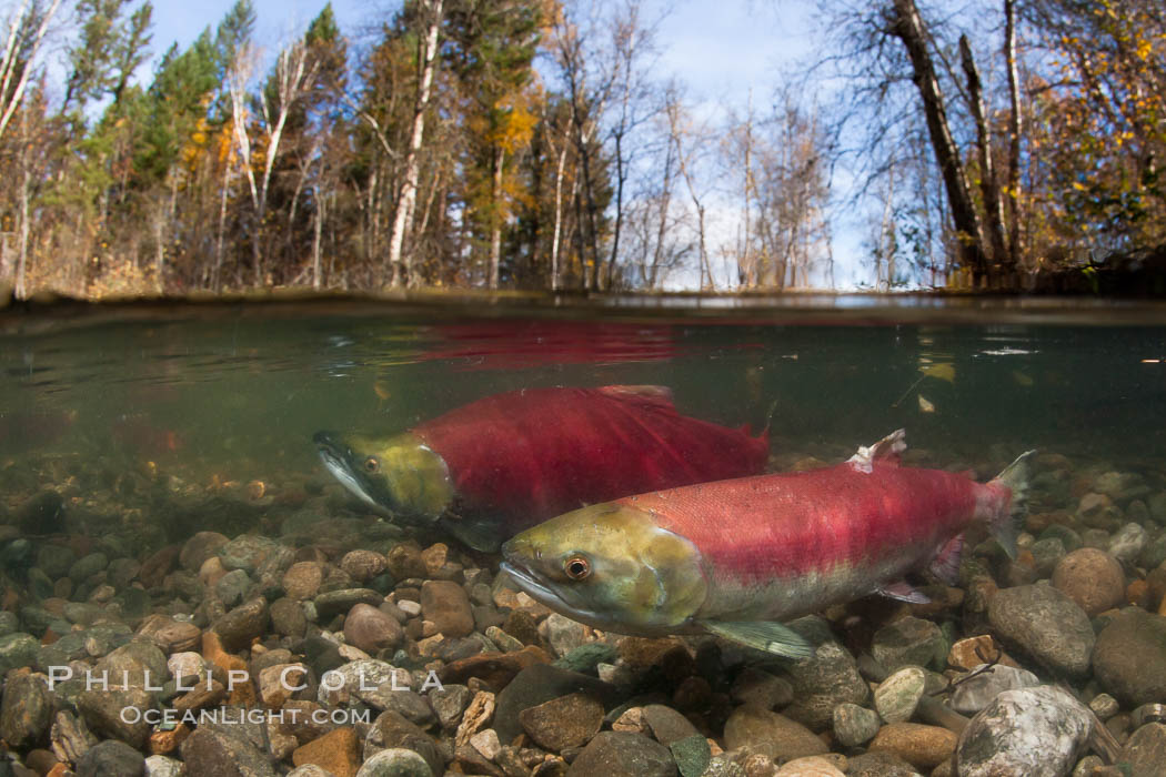 Image 26144, A sockeye salmon swims in the shallows of the Adams River, with the surrounding forest visible in this split-level over-under photograph. Roderick Haig-Brown Provincial Park, British Columbia, Canada, Oncorhynchus nerka, Phillip Colla, all rights reserved worldwide. Keywords: actinopterygii, adams river, animalia, british columbia, canada, chordata, dominant run, fish, half up photo, neopterygii, oncorhynchus, oncorhynchus nerka, outdoors, outside, provincial parks, reproduction, river, roderick haig-brown provincial park, salmon, salmon run, salmonidae, salmoniformes, sockeye salmon, spawn, spawning, split level photograph, teleostei, underwater.