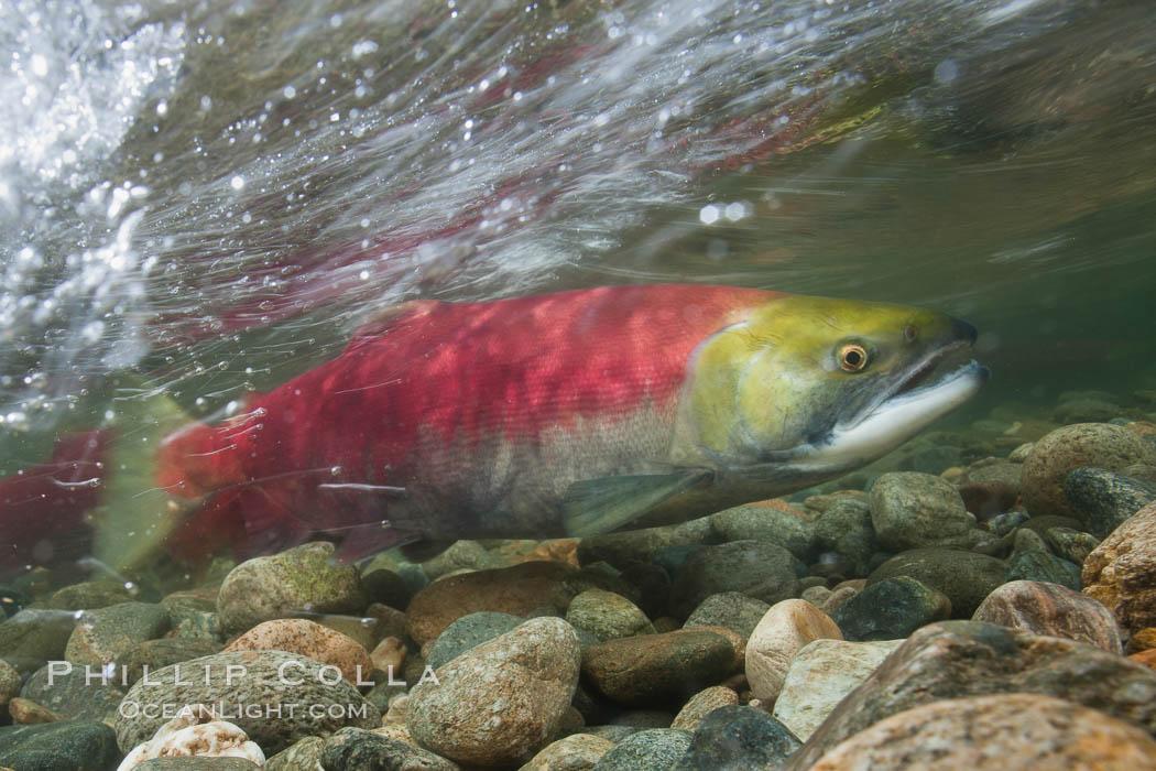 Image 26175, Adams River sockeye salmon.  A female sockeye salmon swims upstream in the Adams River to spawn, having traveled hundreds of miles upstream from the ocean. Adams River, Roderick Haig-Brown Provincial Park, British Columbia, Canada, Oncorhynchus nerka