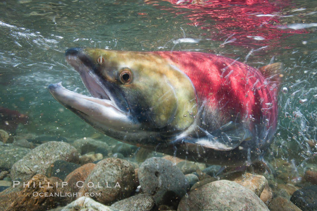 Adams River sockeye salmon.  A female sockeye salmon swims upstream in the Adams River to spawn, having traveled hundreds of miles upstream from the ocean. Adams River, Roderick Haig-Brown Provincial Park, British Columbia, Canada, Oncorhynchus nerka, natural history stock photograph, photo id 26161