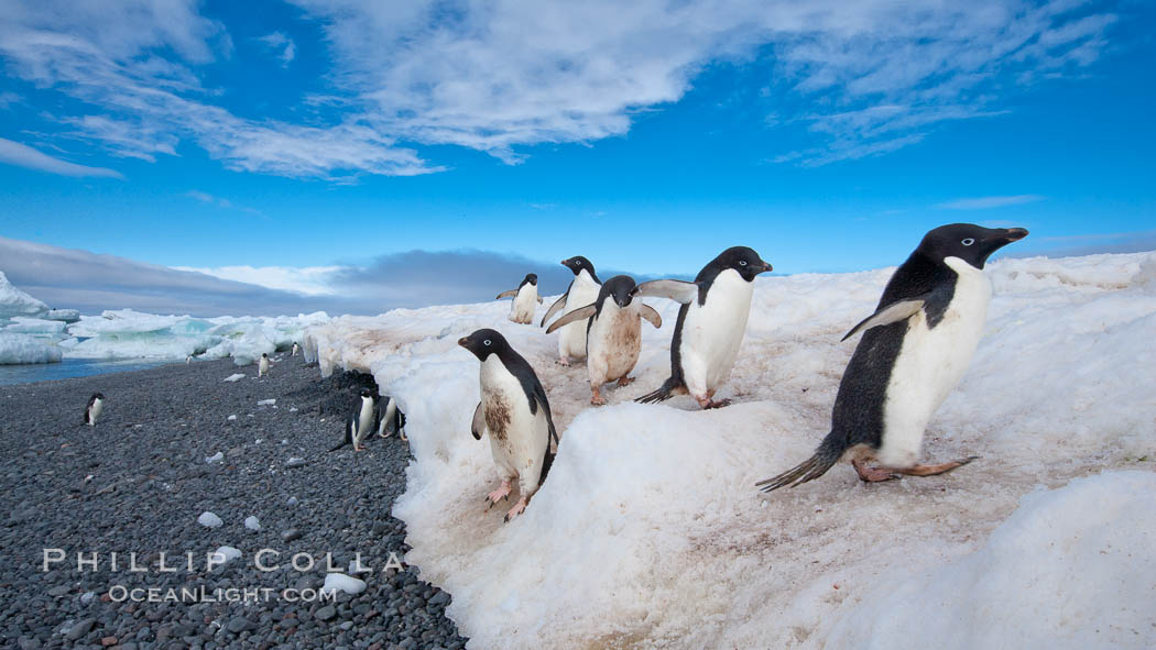 Adelie penguins navigate a steep dropoff, to get from their nests down to a rocky beach, in order to go to sea to forage for food. Paulet Island, Antarctic Peninsula, Antarctica, Pygoscelis adeliae, natural history stock photograph, photo id 25020