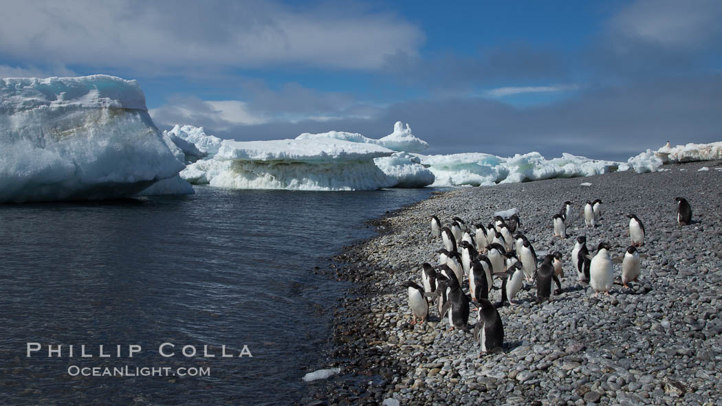 Image 25067, Adelie penguins walk along the edge of the sea, before leaving en masse to forage for food. Paulet Island, Antarctic Peninsula, Antarctica, Pygoscelis adeliae