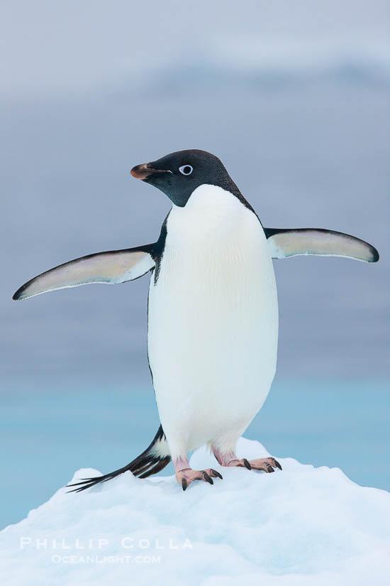 Adelie penguin on an iceberg. Brown Bluff, Antarctic Peninsula, Antarctica, Pygoscelis adeliae, natural history stock photograph, photo id 25006