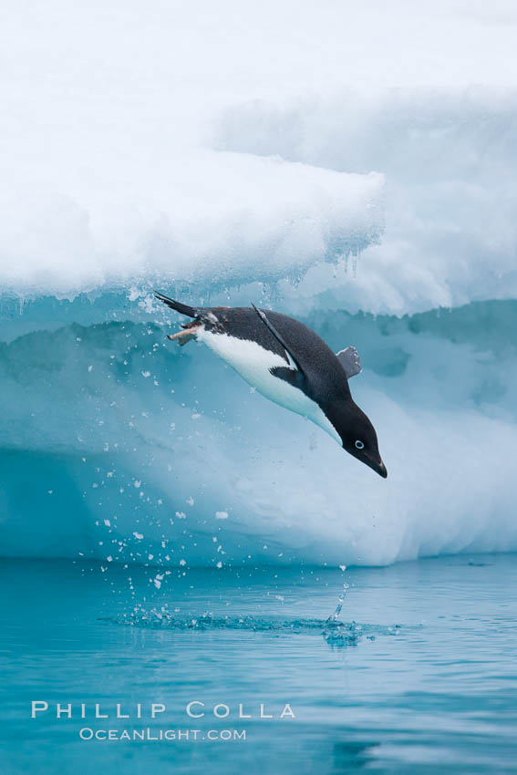 Adelie penguin leaping off an iceberg into the ocean. Brown Bluff, Antarctic Peninsula, Antarctica, Pygoscelis adeliae, natural history stock photograph, photo id 25037