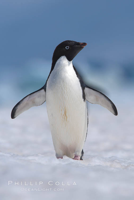 Adelie penguin walking on snow pack. Paulet Island, Antarctic Peninsula, Antarctica, Pygoscelis adeliae, natural history stock photograph, photo id 25071