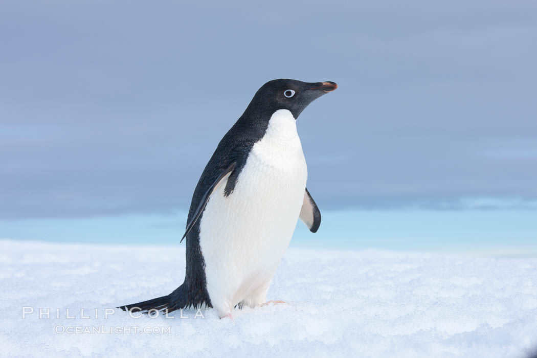 A curious Adelie penguin, standing at the edge of an iceberg, looks over the photographer. Paulet Island, Antarctic Peninsula, Antarctica, Pygoscelis adeliae, natural history stock photograph, photo id 25121