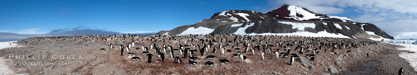 Panorama of adelie penguins at Paulet Island. Antarctic Peninsula, Antarctica, Pygoscelis adeliae, natural history stock photograph, photo id 26305