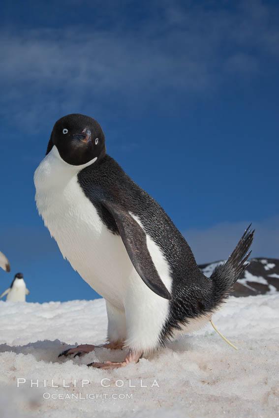 Adelie penguin, defecating (pooping). Paulet Island, Antarctic Peninsula, Antarctica, Pygoscelis adeliae, natural history stock photograph, photo id 25143