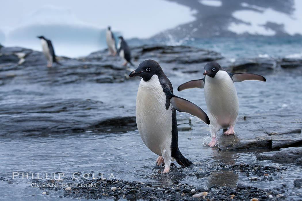 Adelie penguins, Shingle Cove. Shingle Cove, Coronation Island, South Orkney Islands, Southern Ocean, Pygoscelis adeliae, natural history stock photograph, photo id 25074