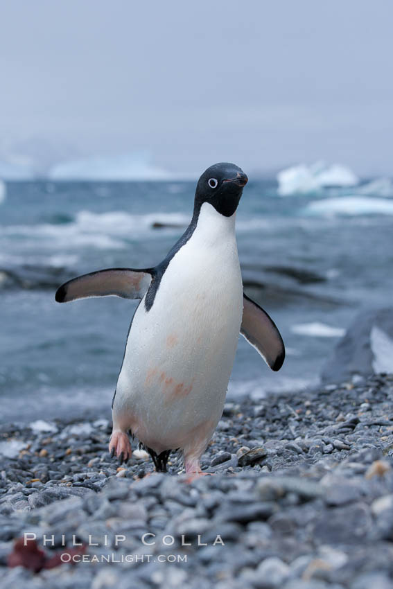 Adelie penguin on cobblestone beach, Shingle Cove. Shingle Cove, Coronation Island, South Orkney Islands, Southern Ocean, Pygoscelis adeliae, natural history stock photograph, photo id 25086