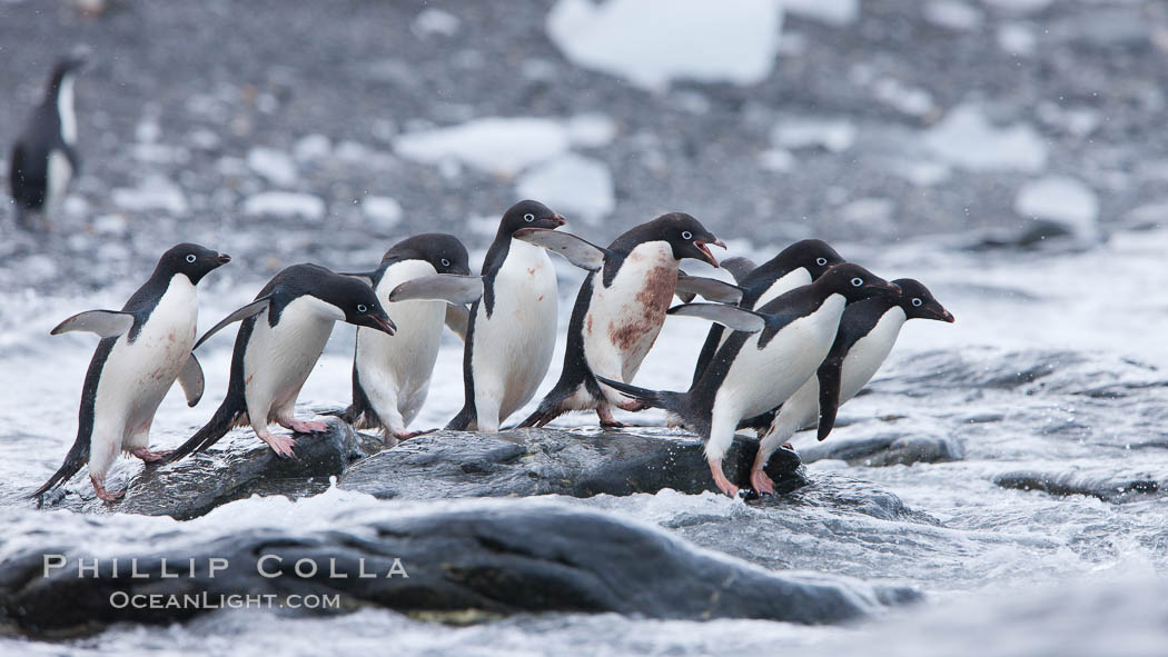 Adelie penguins rush into the water en masse, from the cobblestone beach at Shingle Cove on Coronation Island. Shingle Cove, Coronation Island, South Orkney Islands, Southern Ocean, Pygoscelis adeliae, natural history stock photograph, photo id 25028