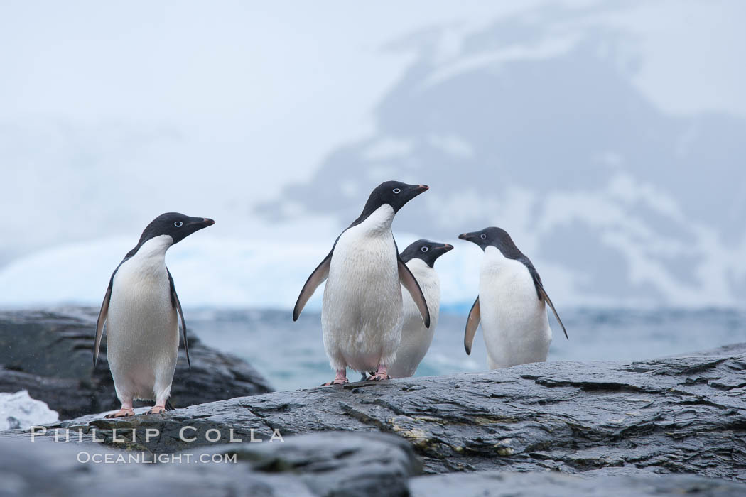 Adelie penguins, Shingle Cove, Coronation Island, South Orkney Islands. Southern Ocean, Pygoscelis adeliae, natural history stock photograph, photo id 25075