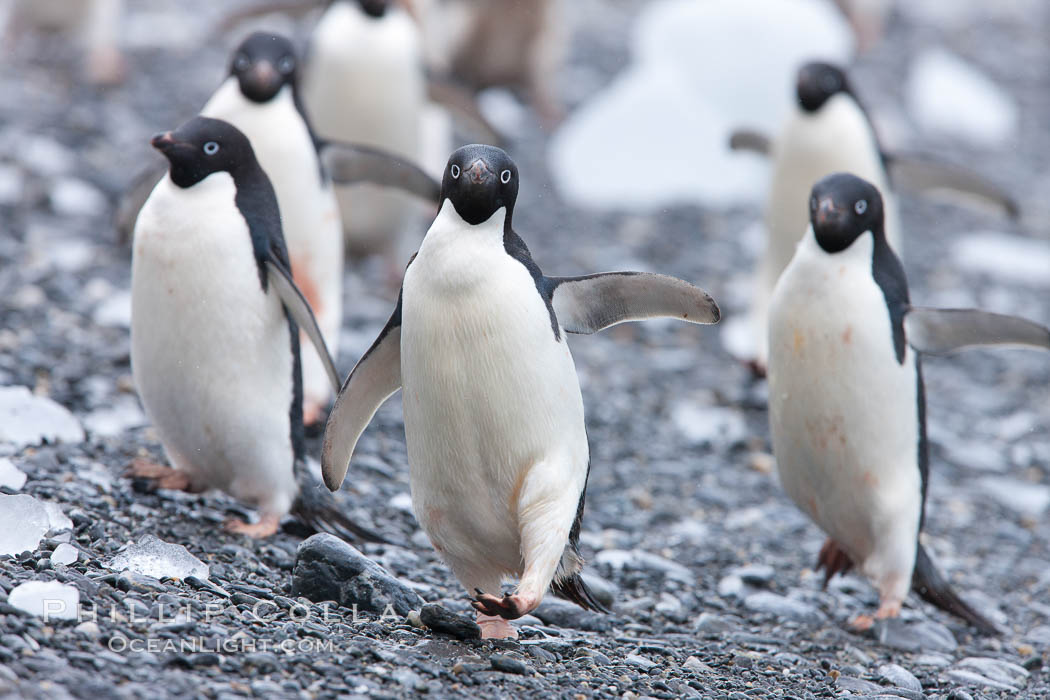 Adelie penguins, Shingle Cove, Coronation Island, South Orkney Islands. Southern Ocean, Pygoscelis adeliae, natural history stock photograph, photo id 25083