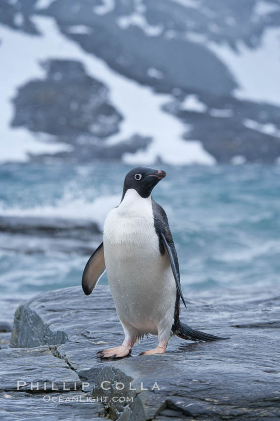 Adelie penguin, on rocky shore, leaving the ocean after foraging for food, Shingle Cove. Coronation Island, South Orkney Islands, Southern Ocean, Pygoscelis adeliae, natural history stock photograph, photo id 25077