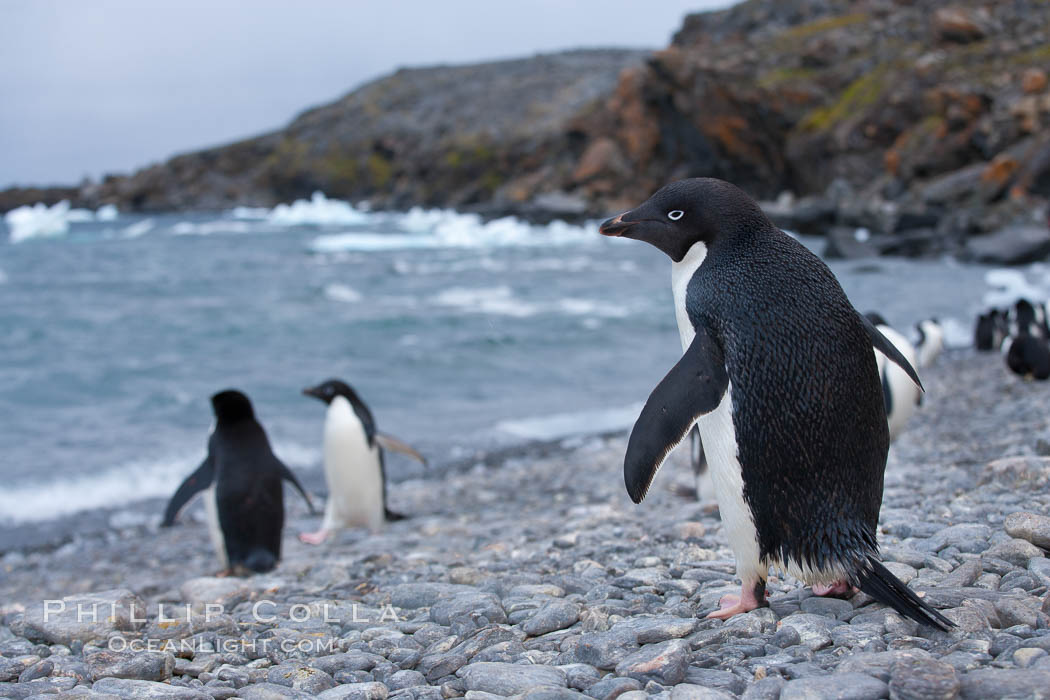 Adelie penguin walking across a beach to go out to sea. Shingle Cove, Coronation Island, South Orkney Islands, Southern Ocean, Pygoscelis adeliae, natural history stock photograph, photo id 25088