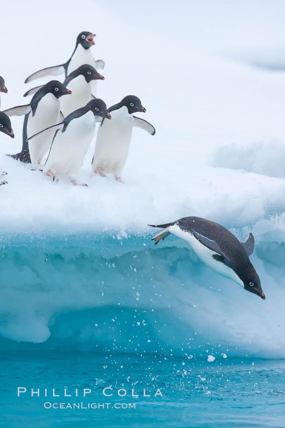 Adelie penguins. Brown Bluff, Antarctic Peninsula, Antarctica, Pygoscelis adeliae, natural history stock photograph, photo id 26376