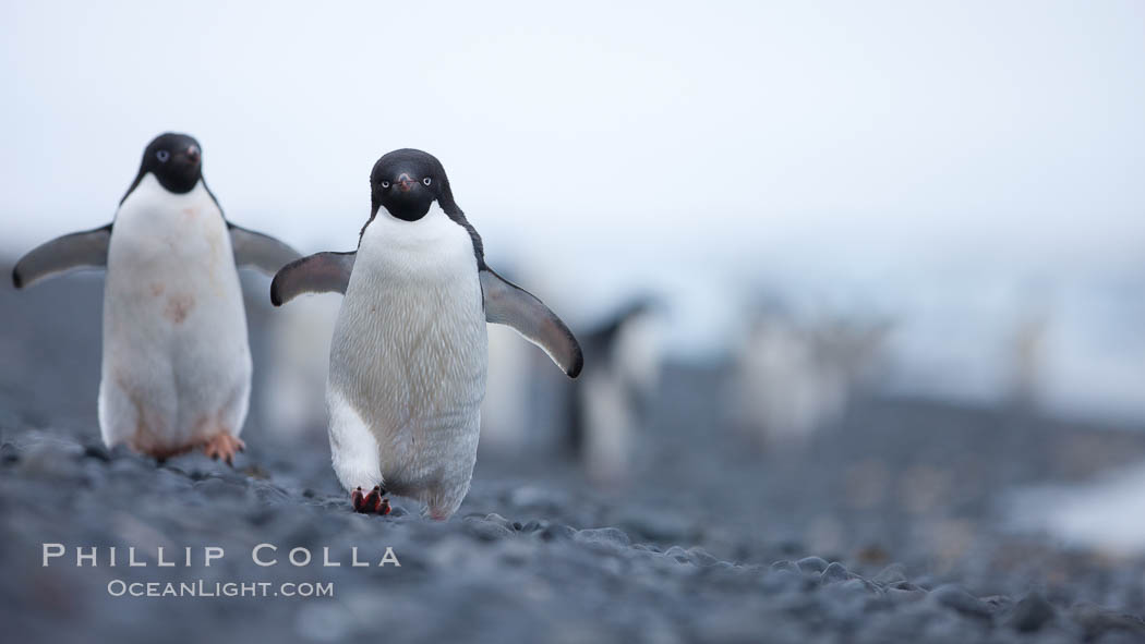 Adelie penguins walking on a stone beach. Brown Bluff, Antarctic Peninsula, Antarctica, Pygoscelis adeliae, natural history stock photograph, photo id 25012