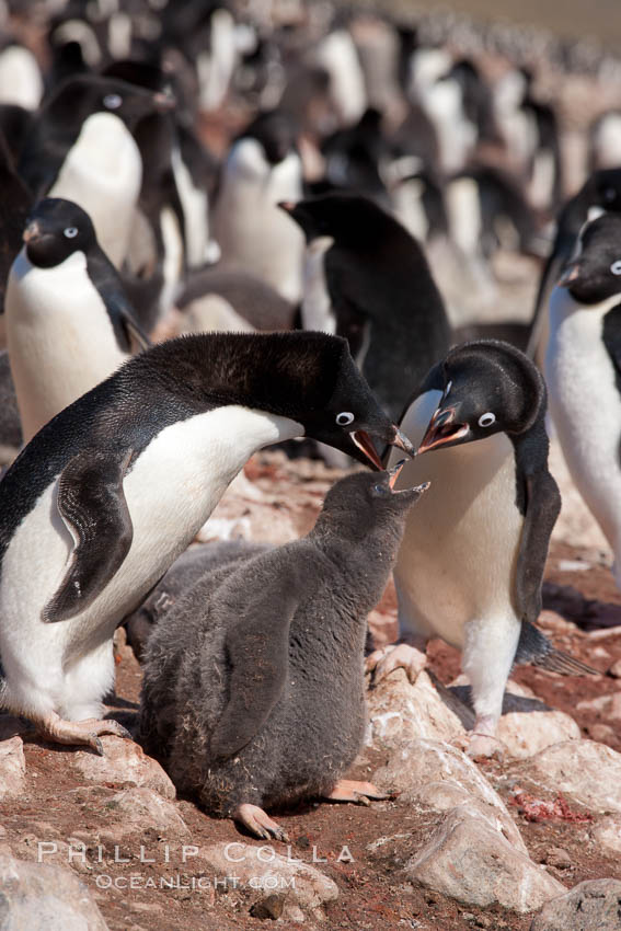 Adelie penguin, adults feeding chicks, part of the large nesting colony of penguins that resides along the lower slopes of Devil Island. Devil Island, Antarctic Peninsula, Antarctica, Pygoscelis adeliae, natural history stock photograph, photo id 25042