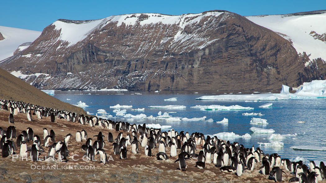 Adelie penguins at the nest, part of the large nesting colony of penguins that resides along the lower slopes of Devil Island. Antarctic Peninsula, Antarctica, Pygoscelis adeliae, natural history stock photograph, photo id 25046