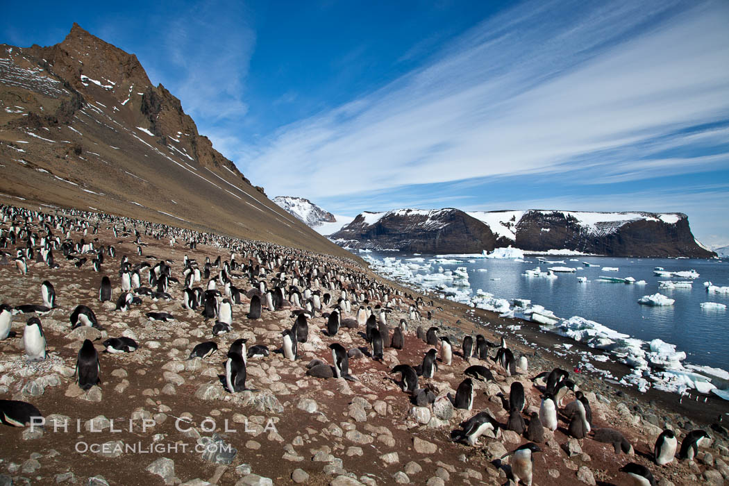 Adelie penguins at the nest, part of the large nesting colony of penguins that resides along the lower slopes of Devil Island. Antarctic Peninsula, Antarctica, Pygoscelis adeliae, natural history stock photograph, photo id 25043