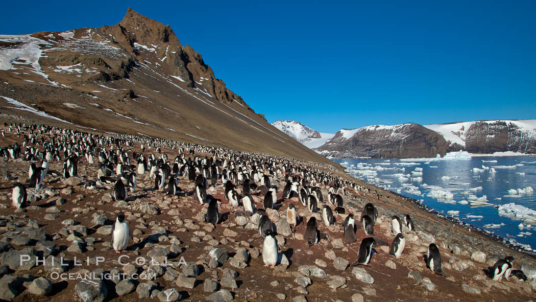 Adelie penguins at the nest, part of the large nesting colony of penguins that resides along the lower slopes of Devil Island. Antarctic Peninsula, Antarctica, Pygoscelis adeliae, natural history stock photograph, photo id 25013