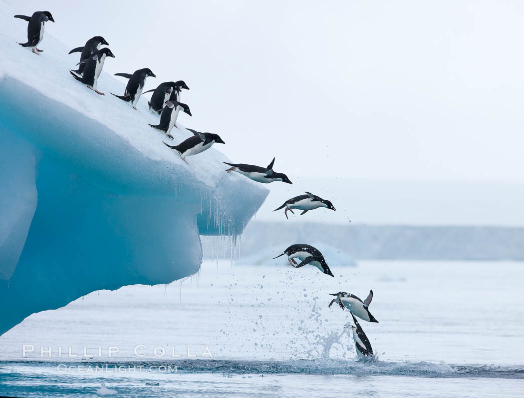 Adelie penguins leaping into the ocean from an iceberg. Brown Bluff, Antarctic Peninsula, Antarctica, Pygoscelis adeliae, natural history stock photograph, photo id 25005