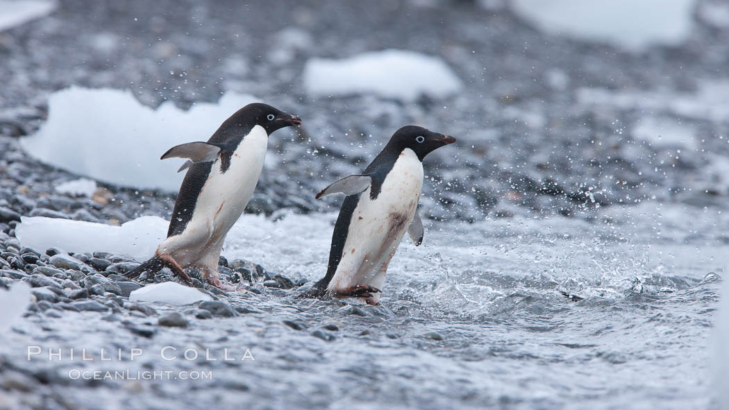 Adelie penguins rush into the water en masse, from the cobblestone beach at Shingle Cove on Coronation Island. Shingle Cove, Coronation Island, South Orkney Islands, Southern Ocean, Pygoscelis adeliae, natural history stock photograph, photo id 25198