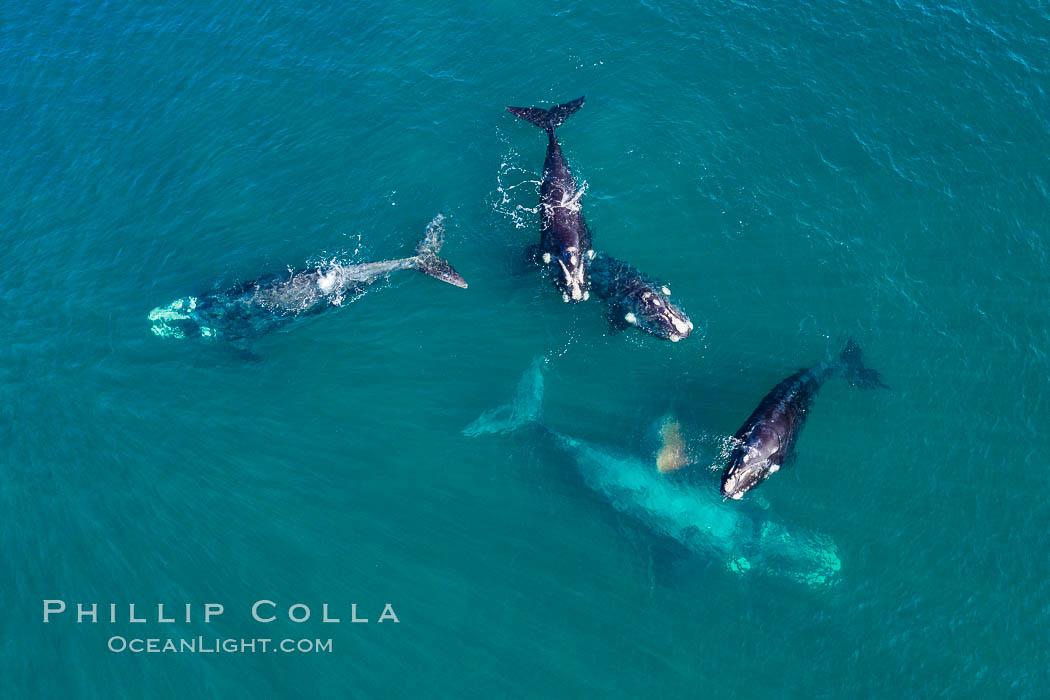 Five southern right whales in courtship group, aerial photo, Eubalaena australis, Argentina, Eubalaena australis, Puerto Piramides, Chubut