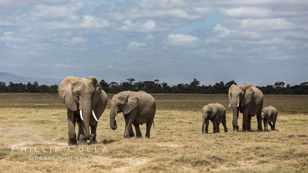 African elephant, Amboseli National Park, Kenya. Amboseli National Park, Kenya, Loxodonta africana, natural history stock photograph, photo id 29498