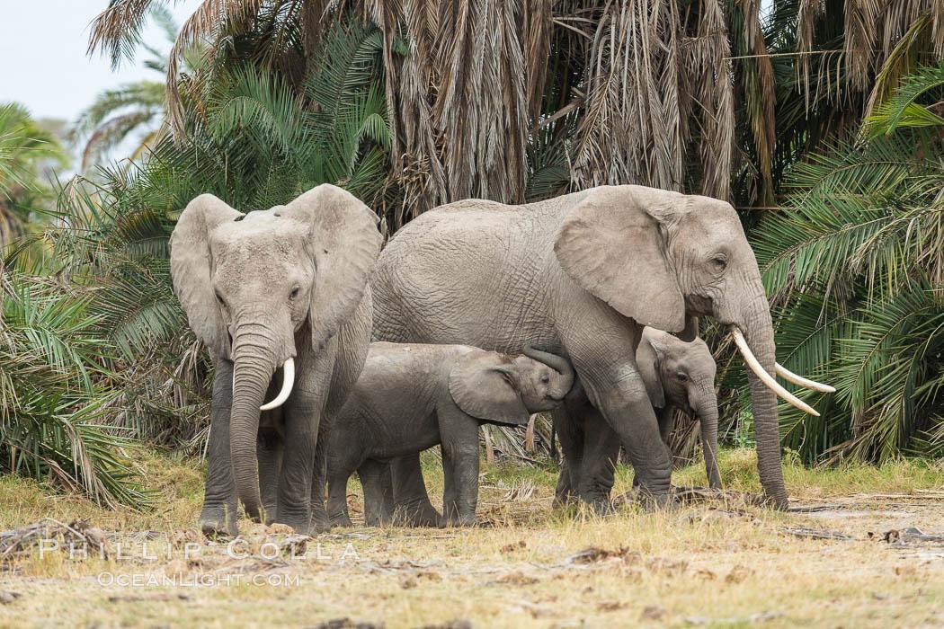 African elephant, Amboseli National Park, Kenya. Amboseli National Park, Kenya, Loxodonta africana, natural history stock photograph, photo id 29544