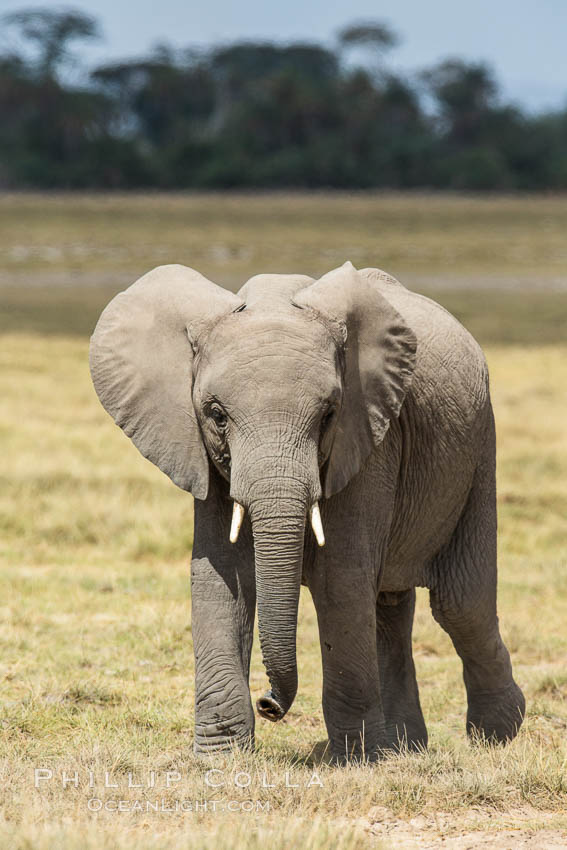 African elephant, Amboseli National Park, Kenya. Amboseli National Park, Kenya, Loxodonta africana, natural history stock photograph, photo id 29499