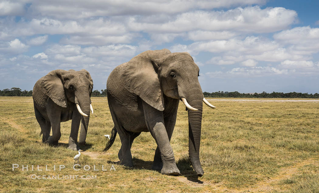 African elephant, Amboseli National Park, Kenya., Loxodonta africana, natural history stock photograph, photo id 29507