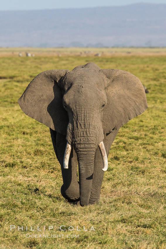 Image 29519, African elephant, Amboseli National Park, Kenya. Amboseli National Park, Kenya, Loxodonta africana