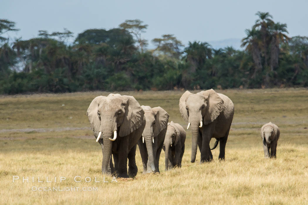 African elephant, Amboseli National Park, Kenya. Amboseli National Park, Kenya, Loxodonta africana, natural history stock photograph, photo id 29497