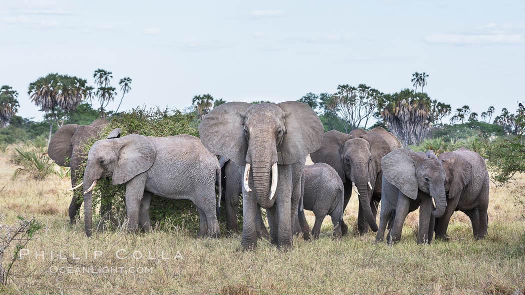 African elephant herd, Meru National Park, Kenya. Meru National Park, Kenya, Loxodonta africana, natural history stock photograph, photo id 29752