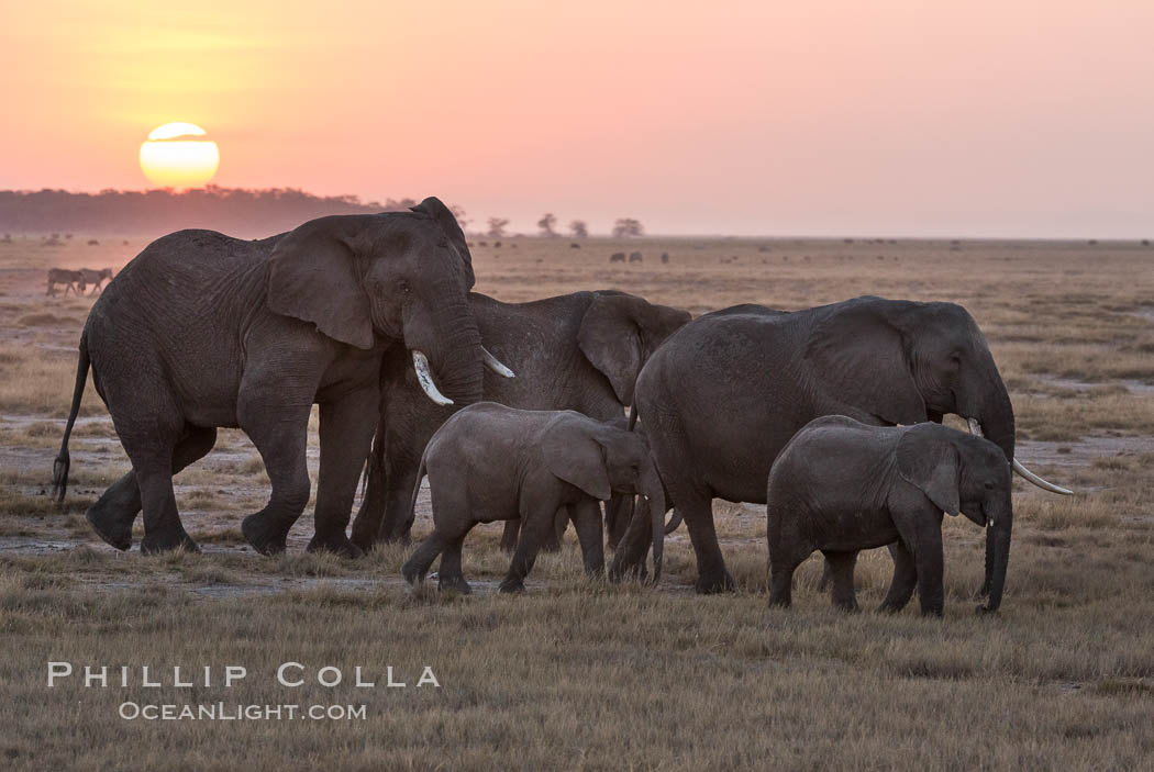 African elephant herd, Amboseli National Park, Kenya., Loxodonta africana, natural history stock photograph, photo id 29536