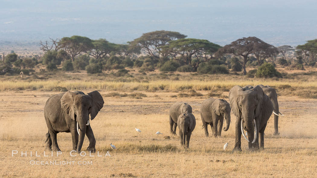 African elephant herd, Amboseli National Park, Kenya., Loxodonta africana, natural history stock photograph, photo id 29604