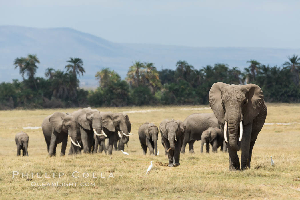 African elephant herd, Amboseli National Park, Kenya. Amboseli National Park, Kenya, Loxodonta africana, natural history stock photograph, photo id 29501