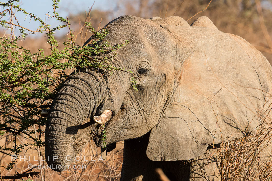 African elephant eating acacia, Meru National Park, Kenya., Loxodonta africana, natural history stock photograph, photo id 29652