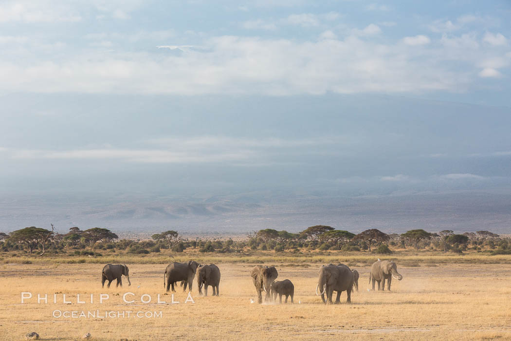 African elephants below Mount Kilimanjaro, Amboseli National Park, Kenya. Amboseli National Park, Kenya, Loxodonta africana, natural history stock photograph, photo id 29605