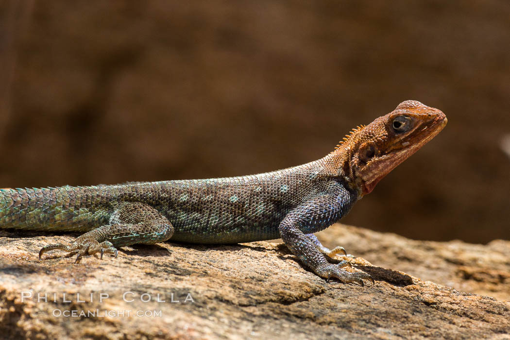 Agama Lizard, Meru National Park, Kenya., Agama, natural history stock photograph, photo id 29731