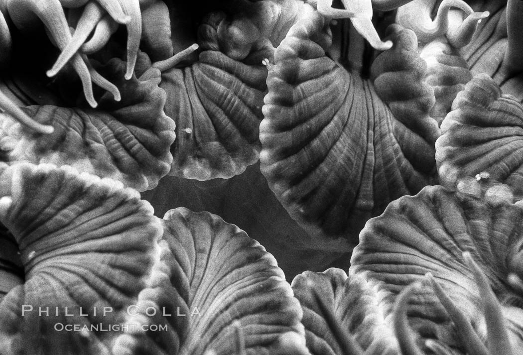 Aggregating anemone detail. San Miguel Island, California, USA, Anthopleura elegantissima, natural history stock photograph, photo id 06130