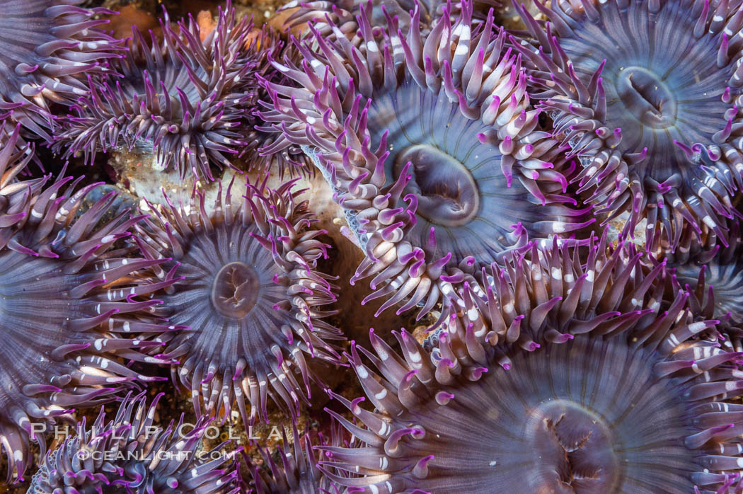 Aggregating anemones.  Arrayed in a clonal group, all of these anemones are genetically identical.  San Nicholas Island. San Nicholas Island, California, USA, Anthopleura elegantissima, natural history stock photograph, photo id 10152