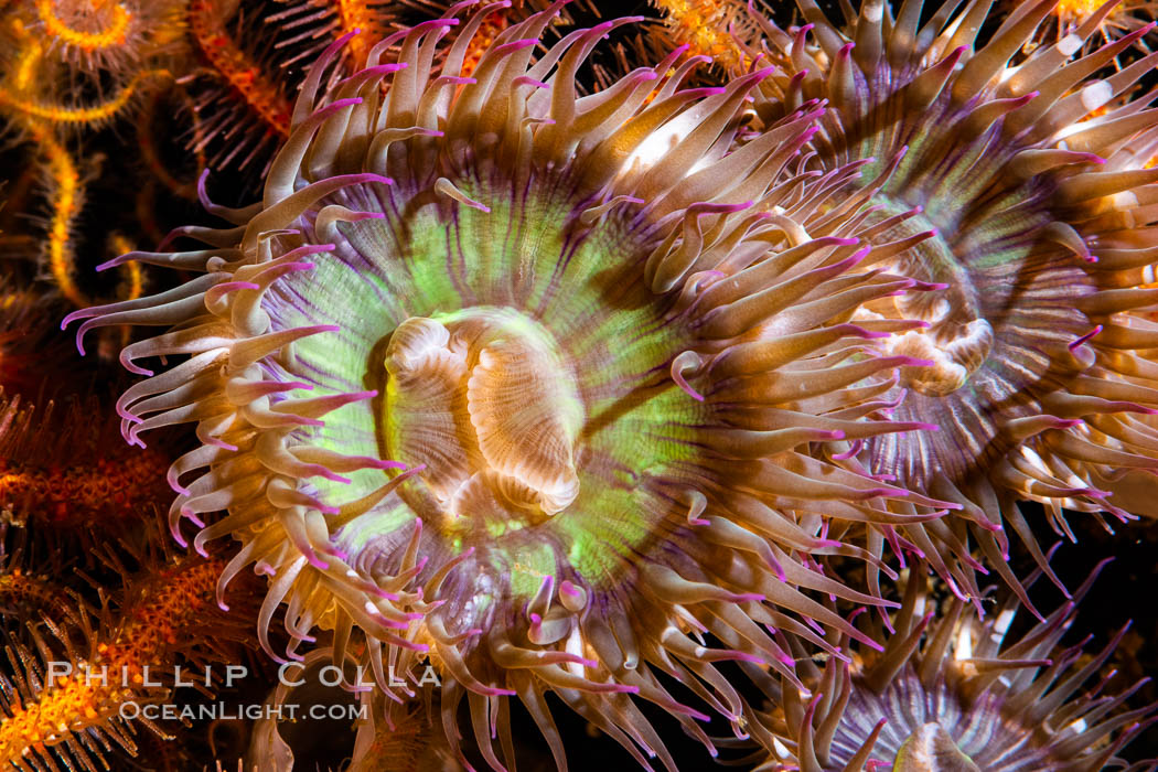 Image 35082, Aggregating anemones Anthopleura elegantissima on oil rigs, southern California