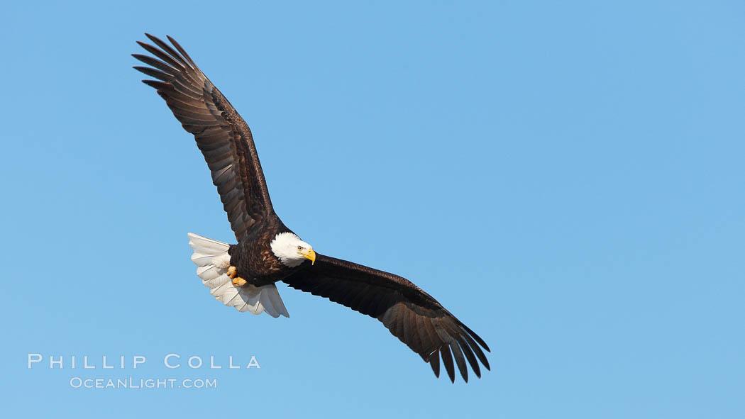 Bald eagle in flight, wing spread, soaring. Kachemak Bay, Homer, Alaska, USA, Haliaeetus leucocephalus, Haliaeetus leucocephalus washingtoniensis, natural history stock photograph, photo id 22724